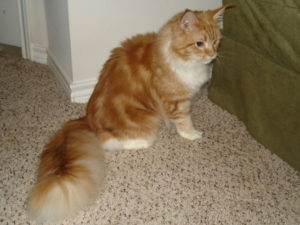 one of our pets, Topaz Sunshine red tabby with white Maine Coon