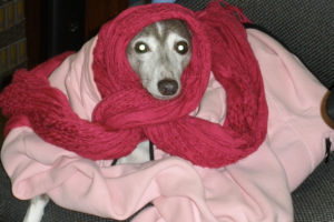 Whippet staying warm in scarf and jacket