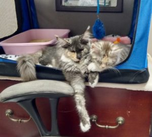 Madrigal and Vivo Fugue, Maine Coon kittens among our pets
