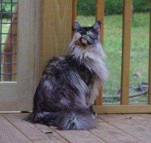 Maine Coon cat on screened deck