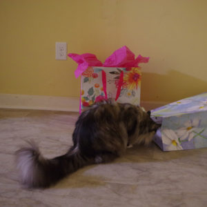 Maine Coon cat playing in gift bags