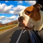 While this looks fun, we do not recommend allowing pets to hang out the window of a moving vehicle.