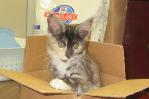 Maine Coon kitten in box