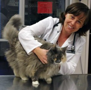 veterinarian exams Maine Coon cat